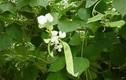 Công dụng giải độc kỳ diệu của cây đậu ván trắng
