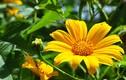 Phương thuốc quý từ 3 loài hoa đẹp chỉ nở vào mùa thu