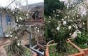Ngắm vườn mai trắng bạc tỷ siêu đẹp ở Hà Nội