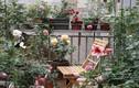 """Đã mắt những vườn hoa hồng """"khủng"""" trên ban công nhà Việt"""