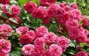 Tại sao hoa hồng Bulgaria nổi tiếng nhất thế giới?