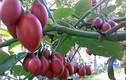 Siêu quả 1 triệu đồng/kg trồng thành công ở Việt Nam thế nào?
