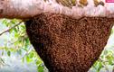 Thót tim cảnh lấy mật ong rừng trên ngọn cây cao chót vót