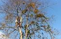 """Đu mình trên cây cao săn """"lộc rừng"""" trứng kiến"""