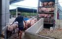 Toàn cảnh thịt lợn rớt giá kỷ lục khiến nông dân điêu đứng