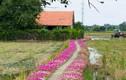 Đẹp ngỡ ngàng đường quê rực rỡ trong sắc hoa mười giờ