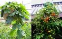 Những loại cây quả, rau màu thích hợp trồng giỏ treo trong nhà