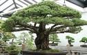 Mãn nhãn cây bonsai 391 năm tuổi khiến người xem sửng sốt