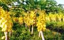 Ghé thăm vườn đu đủ vàng trăm triệu ở miền Tây