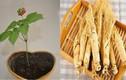 Cách trồng nhân sâm Hàn Quốc tại nhà cực dễ ít ai ngờ