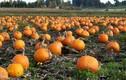 Ngắm cánh đồng bí ngô khổng lồ hàng nghìn quả mùa Halloween