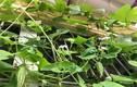 Đã mắt vườn rau ban công mini ăn không xuể của người Việt
