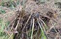 Nhổ rễ cây hương đặc biệt, nông dân thu 70 triệu/ha