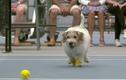 Kỳ lạ chó làm nhân viên nhặt bóng tennis