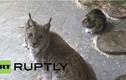 Kỳ lạ mèo rừng kết bạn thân thiết với mèo nhà