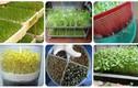 Bí quyết trồng rau mầm tại nhà ngon sạch hết ý