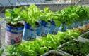 Độc đáo vườn rau sạch trồng bằng hộp sữa