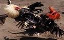 Đây là trận chọi gà hay nhất từ xưa tới nay