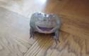 Kinh hoàng con ếch có tiếng kêu khủng khiếp
