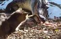 Mèo nổi điên tát tới tấp dằn mặt cá sấu khủng