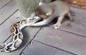 Khỉ con liều mạng đè đầu cưỡi cổ trăn khủng