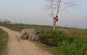 Kiểm lâm chạy trối chết lên cây vì tê giác truy sát
