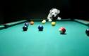 Choáng với kỹ năng chơi bi-a tuyệt đỉnh của chú chó