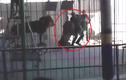 Sư tử điên cuồng lao vào cắn huấn luyện viên đến chết