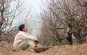 Ảnh: Người trồng thất thần vì đào Nhật Tân khoe sắc sớm