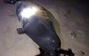 Hải cẩu lên bờ đùa với dân Bình Thuận bị đánh chết