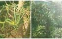 Hàng chục con rắn lục quấn lấy nhau, ngụy trang trên cây si