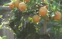 Độc đáo quất bonsai ghép trên gốc cây cần thăng