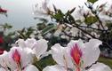 Ngắm hoa ban Tây Bắc khoe sắc giữa phố Cảng