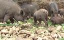 Bí quyết nuôi lợn rừng sạch, thơm ngon