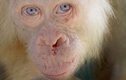 Kỳ bí đười ươi bạch tạng cực hiếm có lông vàng mắt xanh