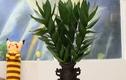 Video: Ý nghĩa phong thủy cây phát tài búp sen
