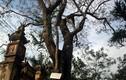 Dân ẩu đả khi họp bàn bán cây sưa 200 tuổi ở Bắc Ninh