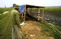 Lộ nguyên nhân vụ 9 con trâu bị chặt, cắt chân ở Hải Dương?