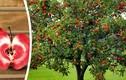 Mê mẩn vườn táo ruột đỏ cho thu tiền tấn