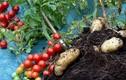 Nửa triệu một cây lạ cho cả khoai tây lẫn cà chua