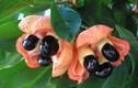 Hình ảnh kỳ dị của loại quả độc nhất Tây Phi