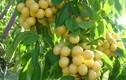 Xem thu hoạch giống cherry vàng hái ra tiền