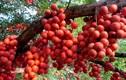 """Những giống cây """"đẻ"""" ra quả từ thân sai trĩu trịt"""