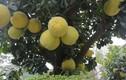 Cận cảnh cây bưởi đắt ngang ba cây vàng ở Hà Nội