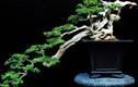 Ngắm bonsai dáng độc hút hồn người xem