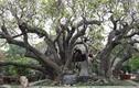 Những cây cổ thụ tiền tỷ đại gia gạ mua không bán ở VN