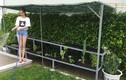Ngắm vườn rau sân thượng xanh tốt của Ngọc Trinh