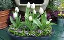 Rộ trào lưu mua củ hoa Tulip trồng chưng Tết