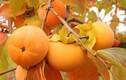 Mùa thu ăn hồng giúp chống ung thư, tăng hệ miễn dịch