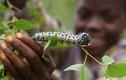 Kinh dị món sâu bướm Mopane, đặc sản được ưa chuộng ở Zimbabwe